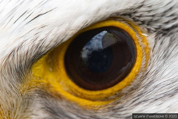 Взгляд хищника Глаза хищных птиц крупным планомФото: Татьяна Жеребцова