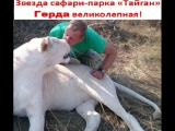 Звезда сафари-парка «Тайган» Герда великолепная!