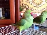 Говорящий попугай ?????