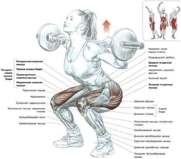Мышца камбаловидная фото
