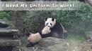 Mom, Please Be Gentle On My 'Panda Uniform' | iPanda