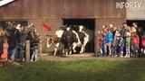 Estas vacas estuvieron encerradas 6 meses y esta fue su reacci