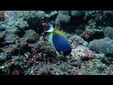 Голубой хирург Дори ест планктон и водоросли на дайвсайте Crystal Bay острова Нуса-Пенида   Дайвинг на Бали
