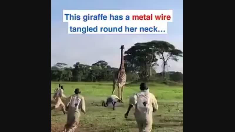 Эти люди рисковали своей жизнью, чтобы спасти жирафа от удушья от проволоки