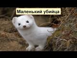 С миру по факту ВЕРСУС! Ласка и Горностай самые маленькие хищники на земле!