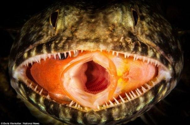 Фотограф Дорис Виркоттер (Doris Vierkotter) запечатлел рыбу, оказавшуюся в челюсти другой.