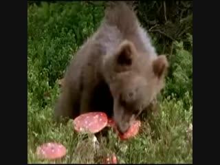 Медведь-грибоед (6 sec)