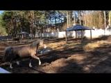 Уэльские пони. Кобылы.