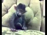Как смеется обезьяна...смотреть всем...