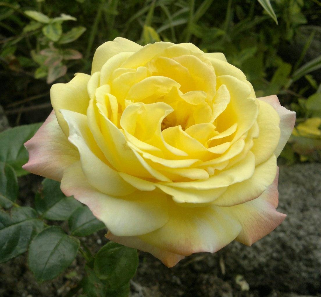 Огромная роза сорт