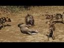 Best attack wild dog destroy animals : Lion , Buffalo , Hyena , warthog , deer