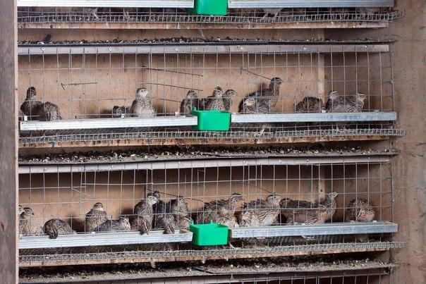 Выращивание куропаток в домашних условиях с нуля с чего начать