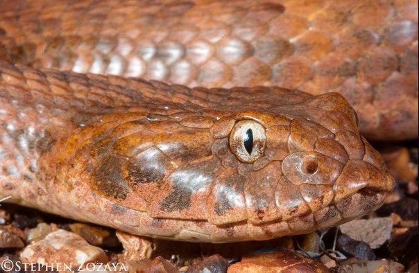 Гадюкообразная смертельная змея (Acanthophis antarcticus)