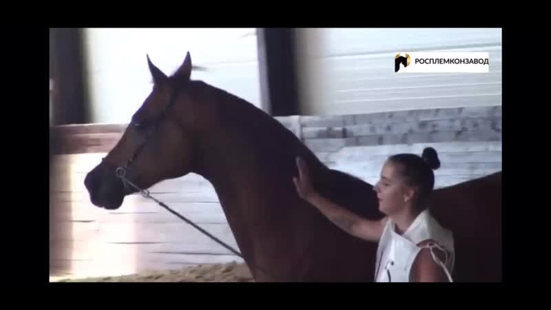 Шоу арабских лошадей Марлон🤩