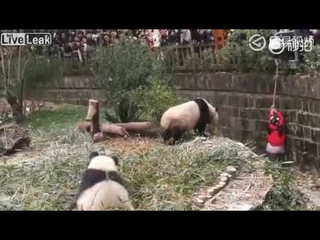 Девочка упала в вольер с пандами