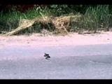Змея ползет по дороге. Гадюка на Немышле