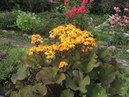 БУЗУЛЬНИК или ЛИГУЛЯРИЯ высокий тенелюбивый многолетник в саду Посадка уход и разведение