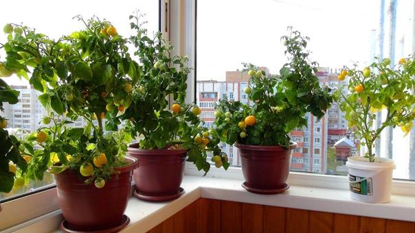 помидоры черри на подоконнике! в комнатных условиях можно выращивать довольно много сортов и гибридов томатов. но более пригодны для выращивания в домашних условиях раннеспелые томаты с