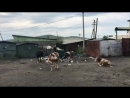 Коровы едят на мусорной свалке в городке Могоча