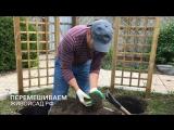 Технология посадки клематисов