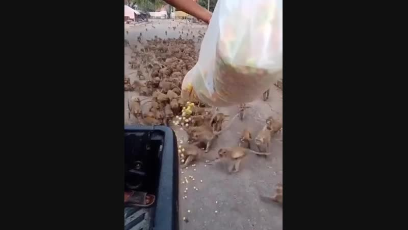 Man feeding a couple hundred monkeys in Thailand