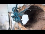 Avicularia Versicolor. Домашний паук-птицеед.