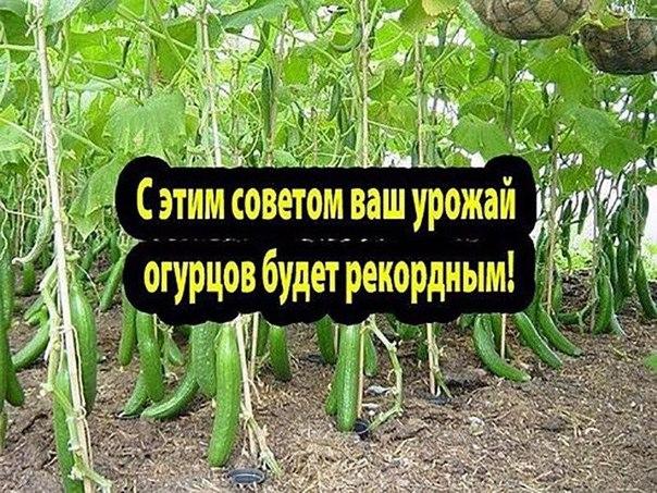 С этим советом ваш урожай огурцов будет рекордным! — Огурчики на хлебушке