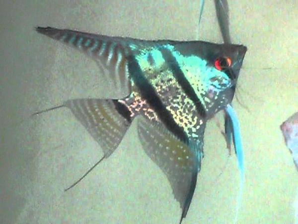 Snakeskin Blue Angelfish orange fins