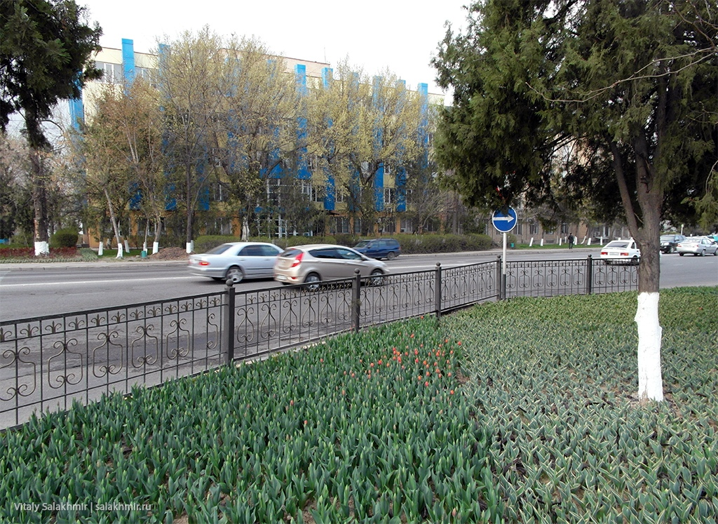 Тюльпаны в Шымкенте, 2019