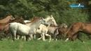 Shael Stud part 3 Akhal Teke breed Ахалтекинская порода лошадей
