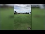 погоня гусей за алигатором