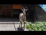 Голубой баран поселился в Московском зоопарке
