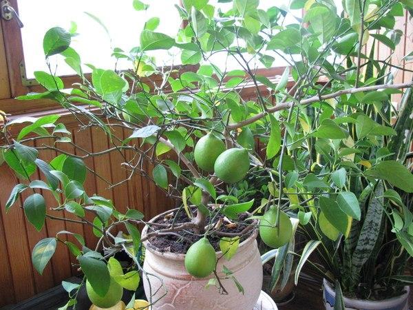 Когда обрезают лимон в домашних условиях