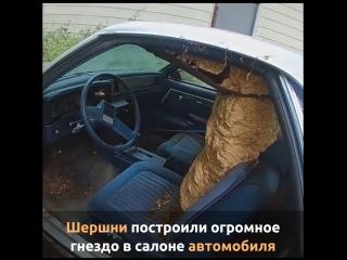 Шершни построили огромное гнездо в салоне автомобиля