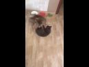 Котенок играет с собакой Plush Blue Ray