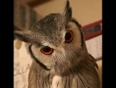 This owl changing its face to respond to threats