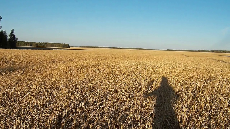 ДОБРОЕ УТРО Пшеничка