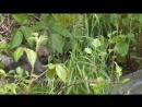 Wolf pups (Canis lupus) - Wolf behavior
