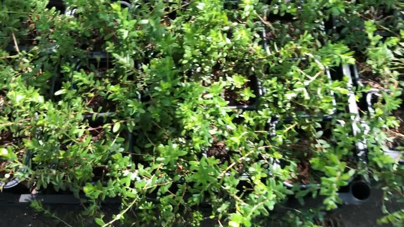 Клюква садовая крупноплодная Стивенс в наличии 50 шт