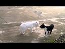 Кот против кота Белый против чёрно белого