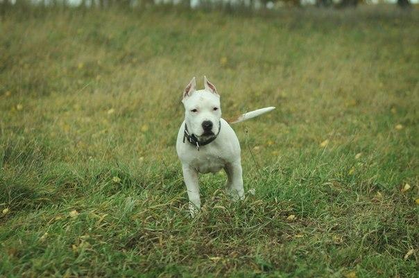 Собаки и щенки породы Питбуль  купить из питомников и