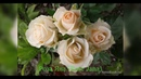 Rose Jana Роза Яна