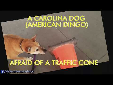 A CAROLINA DOG AMERICAN DINGO Afraid Of A Traffic Cone