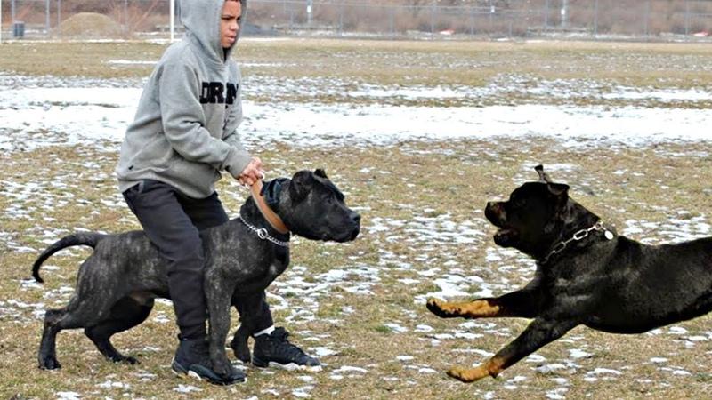 Rottweiler VS Presa Canario