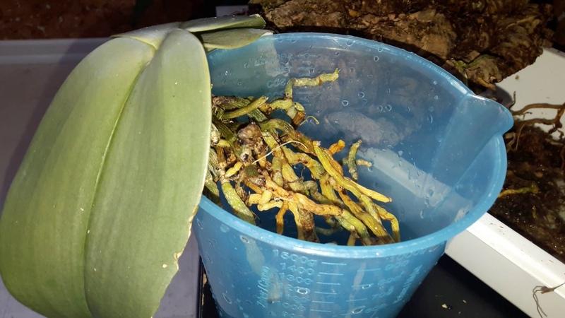 Фаленопсис Gigantea вне блока, корни часть 2