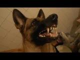 Как собака реагирует на слово отдай и пошли гулять=)