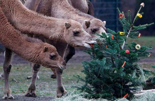 Верблюды лакомятся рождественской елкой в зоопарке Тирпарк. Берлин, Германия. Такие елки им приносят специально  верблюды очень любят и хвою, и кору.