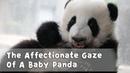 The Affectionate Gaze Of A Baby Panda | iPanda