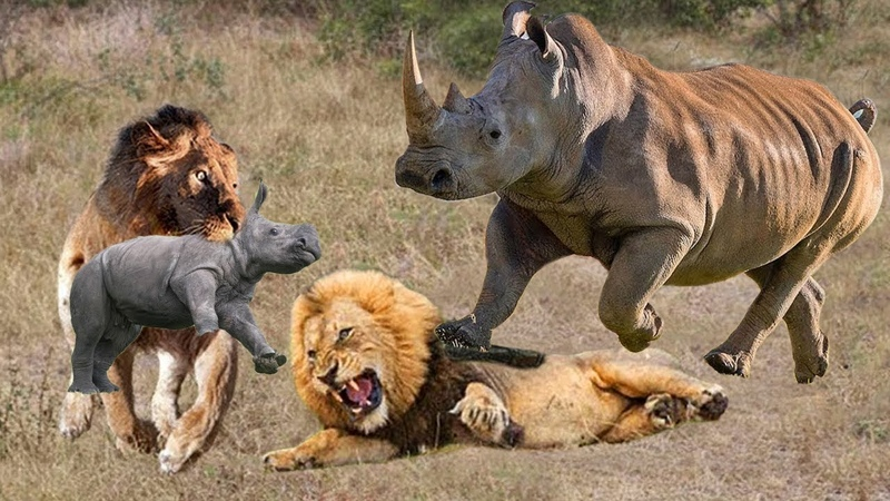 OMG! Rhino Mother destroy 2 Lions rescue baby, Lion go territory Rhino steal baby but fail