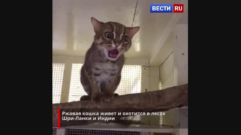Ржавая кошка